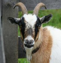 goat-58893_640