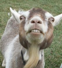 scarey goat