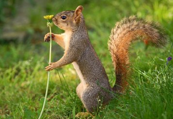 squirrel-dandelion_1865738i