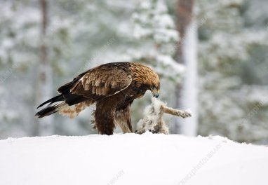 Golden eagle eating hare
